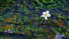Fallen Flower on Decaying Moss Royalty Free Stock Images