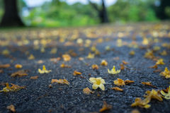 Fallen Flowers Covering Wet Path. After rain, on wet concrete path of a park are lots of little yellow flowers fallen from trees along the path Royalty Free Stock Image