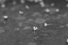 Fallen flowers on ground in black and white Stock Images