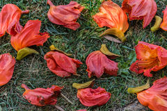 Fallen flowers. Spathodea campanulata or fountain tree flowers on the ground Royalty Free Stock Images