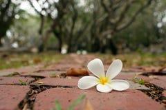 Fallen Frangipani Royalty Free Stock Photography
