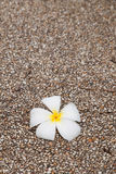 Fallen frangipani flower on the pebble ground Royalty Free Stock Photography