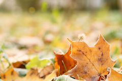 Fallen frosted autumn leaves in town park on ground Royalty Free Stock Image