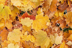 Fallen frosted autumn leaves in town park on ground Royalty Free Stock Photo
