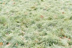 Fallen frosted autumn maple leaves on grass Royalty Free Stock Photography