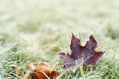 Fallen frosted autumn maple leaves on grass Royalty Free Stock Photos