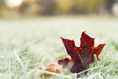 Fallen frosted autumn maple leaves on grass Royalty Free Stock Images