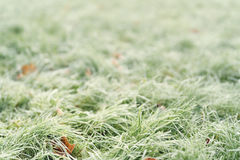 Fallen frosted autumn maple leaves on grass Stock Images