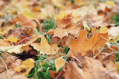 Fallen frosted maple leaves in the frosty morning Royalty Free Stock Image