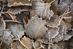 Fallen frosty leaves Royalty Free Stock Image