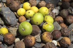 Fallen fruit of deadly manchineel tree Stock Images
