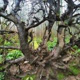fallen gammal tree arkivbilder