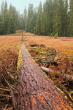 Fallen Giant Tree Stock Image