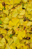 Fallen ginkgo leaves Royalty Free Stock Image