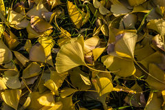 Fallen ginkgo leaves in autumn Royalty Free Stock Photography