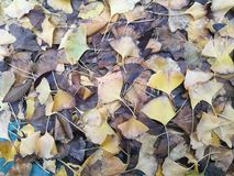 The fallen  ginkgo leaves covering on the wet floor Royalty Free Stock Image