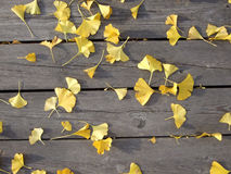 Fallen ginkgo leaves on wooden slats. Many golden Ginkgo biloba leaves on rough wooden slats. Clinical trials have shown Ginkgo to be effective in treating Stock Photos