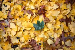 Fallen Ginko Leaves. Fallen bright yellow ginko or maidenhair leaves and one green maple leaf on top with a few scattered brown oak leaves and maple seeds for an Stock Photography