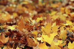 Fallen golden yellow leaves texture Stock Photos