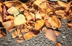 Fallen golden yellow leaves texture Stock Images