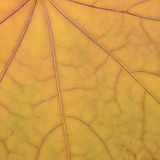 Fallen golden yellow maple leaf texture pattern, autumn fall Royalty Free Stock Photos