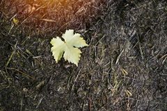 Fallen grape leaves on the wet ground,hope conception Royalty Free Stock Photography