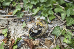 Fallen hawfinch baby  on the ground Stock Photography