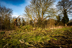 Fallen hedgerow tree Royalty Free Stock Images