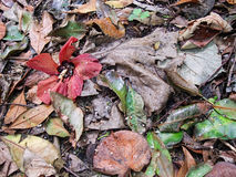 Fallen hibiscus flower. Leaf litter with fallen wild hibiscus flower Royalty Free Stock Photo