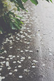 Fallen jasmine petals after the rain Royalty Free Stock Image