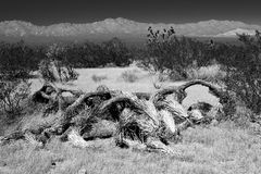Fallen Joshua Tree Stock Images