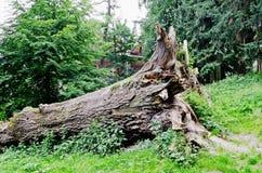 Fallen large tree Stock Photo