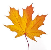 Fallen Leaf Royalty Free Stock Photos