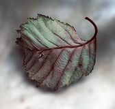 Fallen Leaf Royalty Free Stock Image