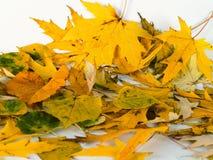 Fallen Leaf Royaltyfria Foton