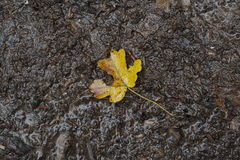 Fallen leaf. Fallen leaf of autumn Stock Photo