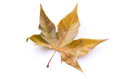 Fallen leaf Royalty Free Stock Photography
