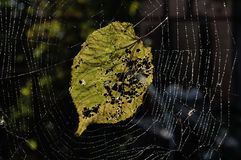 Fallen leaf in a cobweb Stock Image