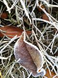 Fallen leaf covered with white frost lying on the grass Stock Photo