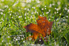 Fallen leaf in Dew Stock Image