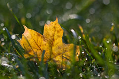 Fallen leaf in Dew Royalty Free Stock Photo
