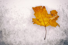 Fallen leaf on dirty ice Royalty Free Stock Image