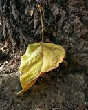 Leaf of yellow color and bark of tree. Fall leaf on ground Royalty Free Stock Photo