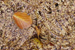 Fallen leaf on the fern Royalty Free Stock Image