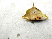 Dry leaf. Fallen Leaf isolated on concrete ground Royalty Free Stock Photo