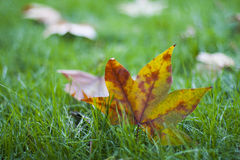 Fallen leaf on the lawn Royalty Free Stock Photography