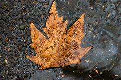 Fallen leaf lie on wet asphalt. Autumn.  stock photo