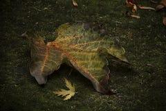Fallen leaf on moss. A closeup of a fallen leaf on a bed of moss Stock Photos