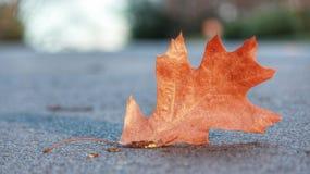 Fallen leaf Royalty Free Stock Photos