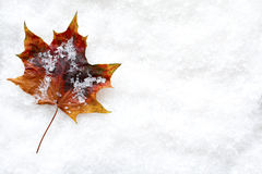 Fallen Leaf in the Snow. Vibrant autumn leaf laying in the snow composed with copy space left on the background for your own message Stock Image
